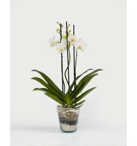 Orquídea 3 Ramas